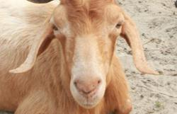 Cops nab three after theft of six goats