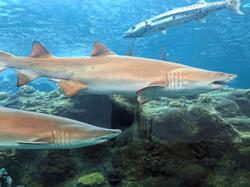 Shark researchers worried over ingredient in potential Covid-19 vaccine