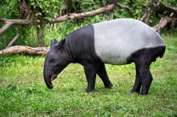Tapir killed by vehicle in Kuala Krai