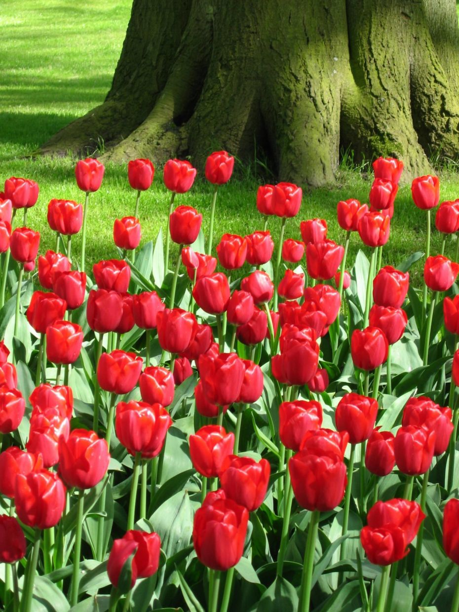 Curtis hadn't realised that her tulip field would have the same effect on others as they did on her. Filepic