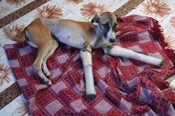 Badly injured street dog swaps India for English countryside