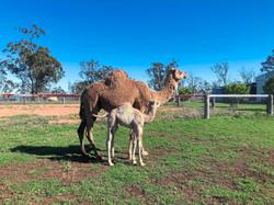Camels of Camelot in Toowoomba Queensland chomp on weeds to keep them in check
