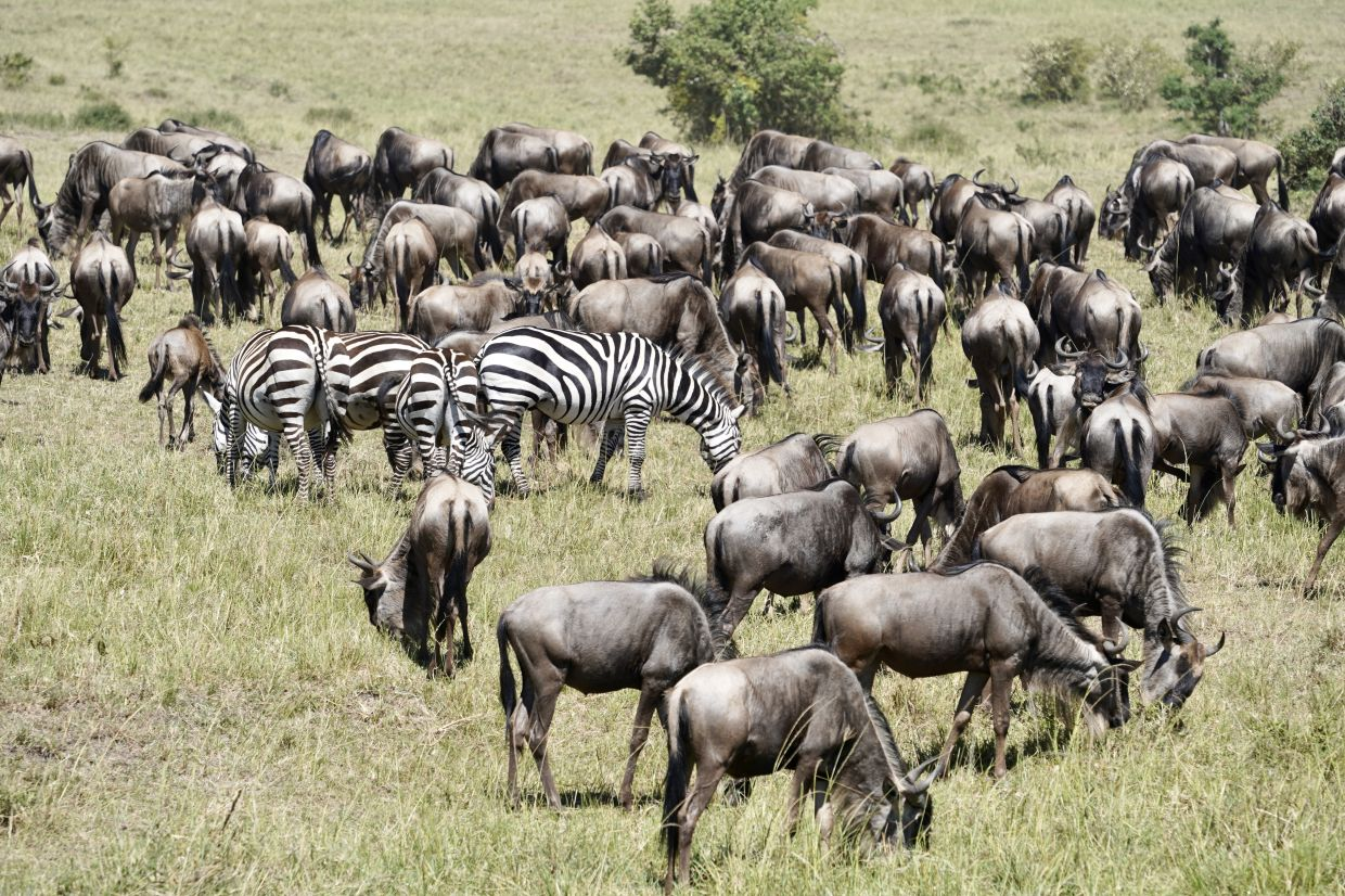 The best times to witness the great animal migration in the African continent is in July (at the Serengeti) and between August and October (at the Masai Mara National Park).