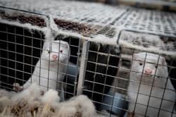 Denmark says mutated coronavirus from mink farms most likely extinct