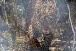 Opposites attract: Wild and captive jaguars mate in Argentina to save species
