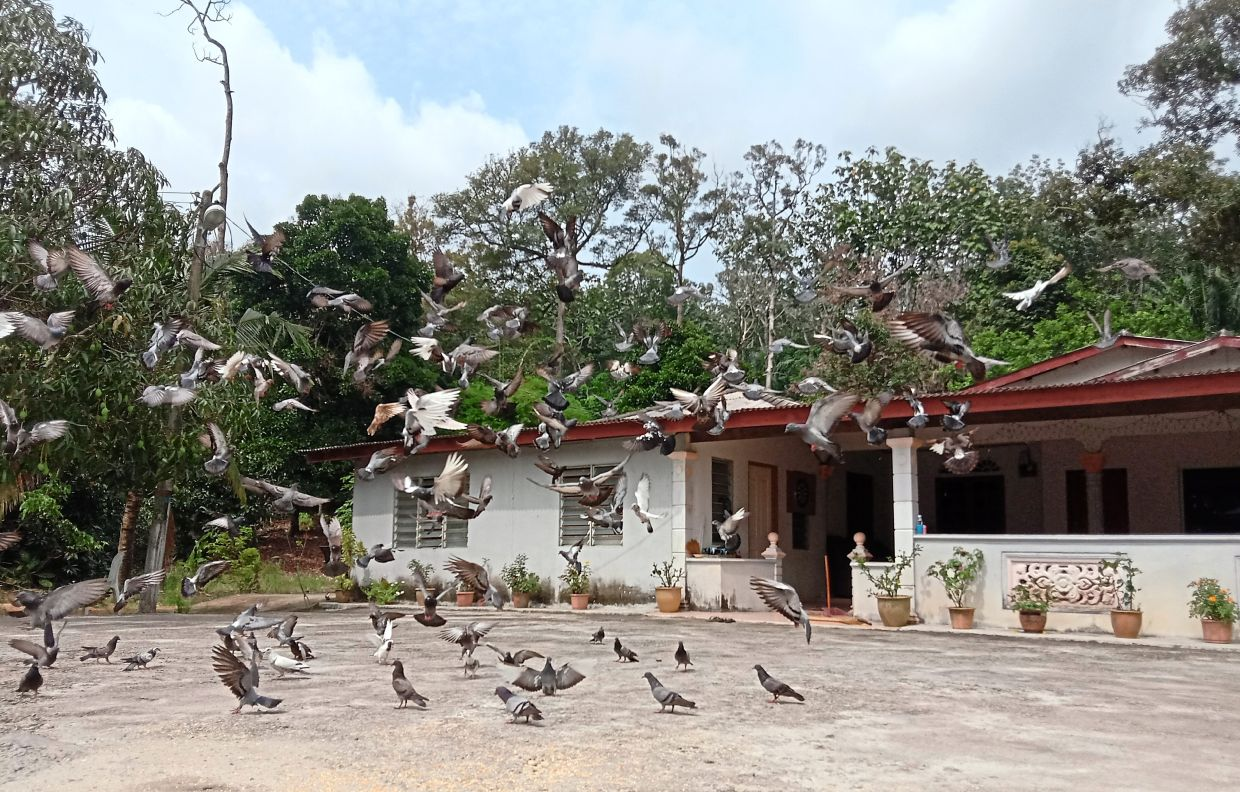 A pretty sight as pigeons take flight outside a house in Kampung Giching.