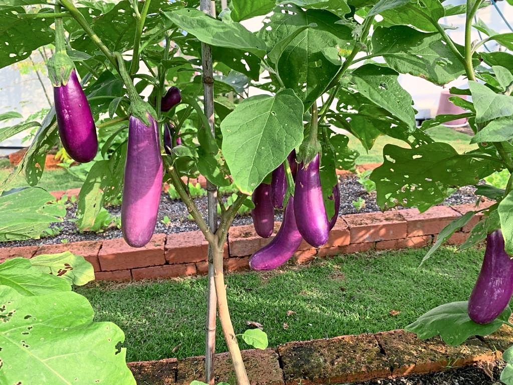 The brinjals in Chong's garden.