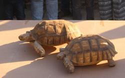 Sudan's turtle race: Slow competitors a sign of newfound freedoms