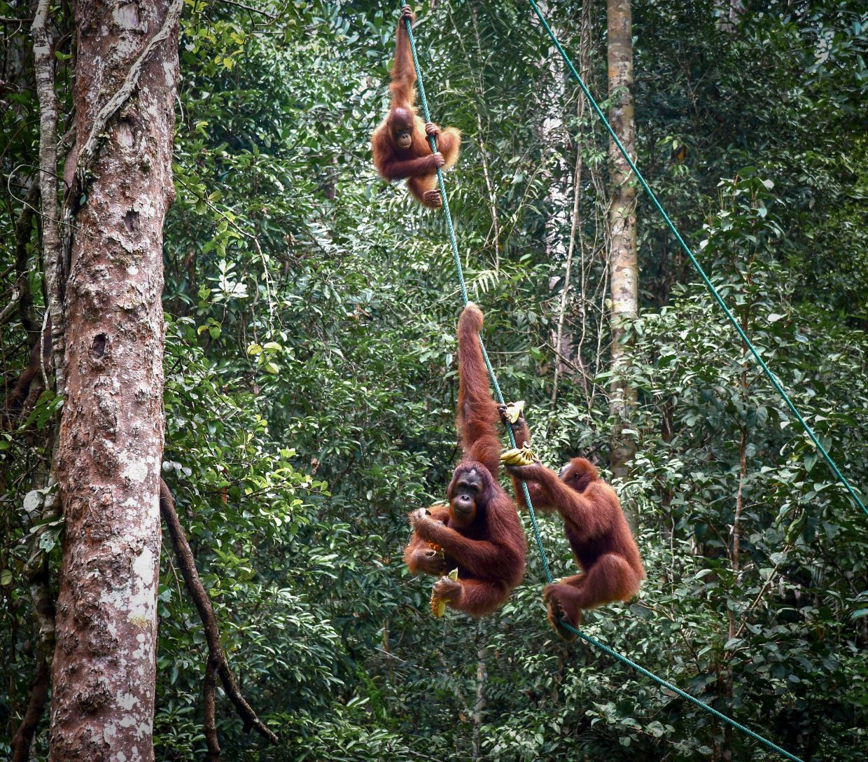 Orang utans at the Semenggoh Wildlife Centre in Kuching. Malaysia's threatened peat swamp forests are home to these animals. — Filepic/The Star