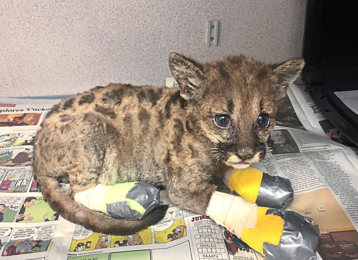 Captain Cal, a baby mountain lion, is badly injured in a California forest fire. His paws require daily medical care and new bandages.