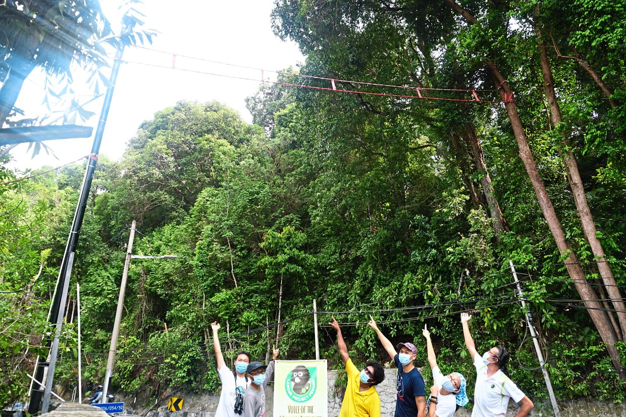 """Passion for primates: Yap ,initiated the """"Ah Lai's Crossing""""  project to install the first urban canopy bridge for langurs  in Malaysia."""