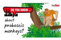 Do you know...about proboscis monkeys?