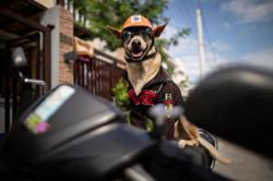 Biker dog Bogie cruises Philippine highways