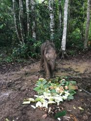 Borneo pygmy elephant found dead, believed poisoned