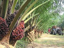 Confidence in PN government lifts palm oil prices