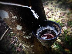 Cambodia's rubber exports up 21 per cent