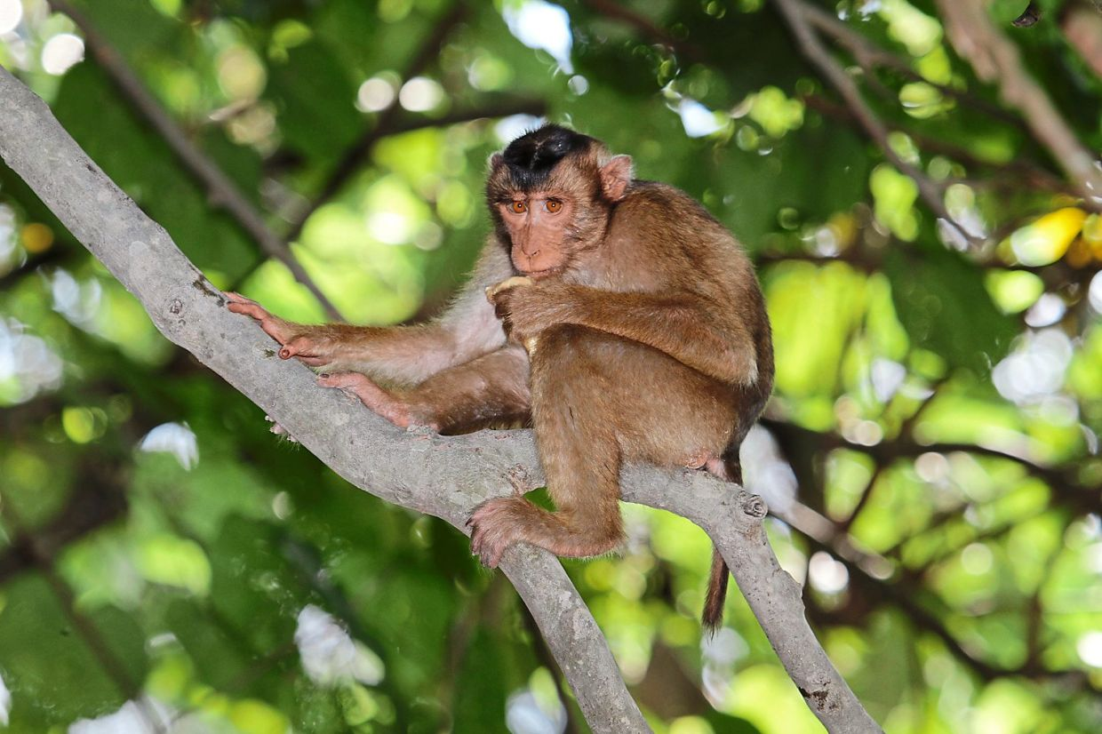 Southern Pig-tailed Macaque sitting on a branch in one of Shah Alam's forests.