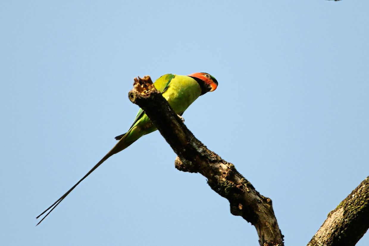 Long-Tailed Parakeet is another species found in Shah Alam forests.