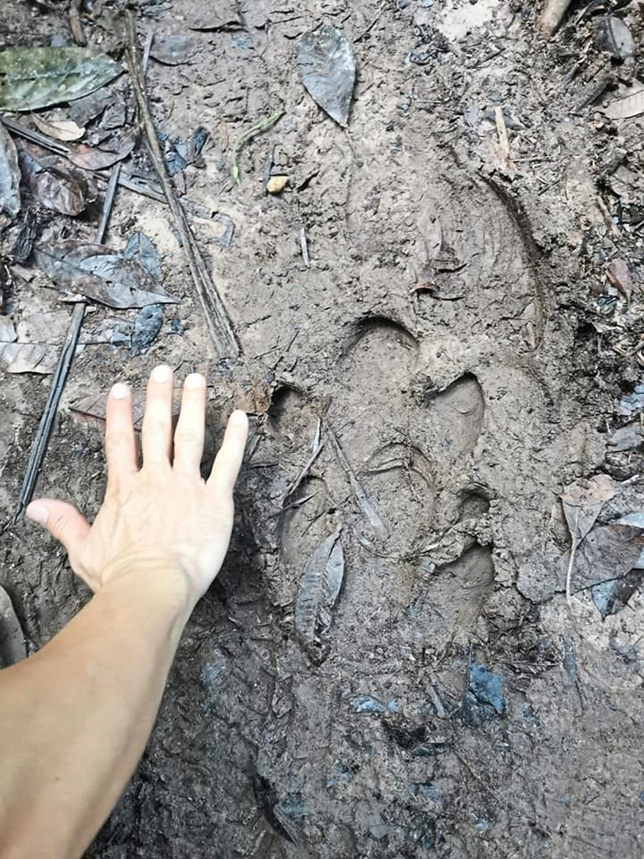 A tapir footprint found in a Shah Alam forest in July.