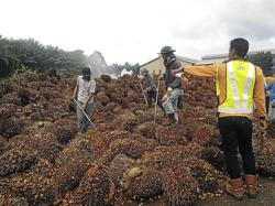 Crude palm oil rises to high of RM3,330