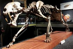 Rare U.S. saber-toothed tiger skeleton up for auction