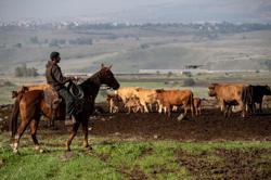 Droning the drove: Israeli cow-herders turn to flying tech