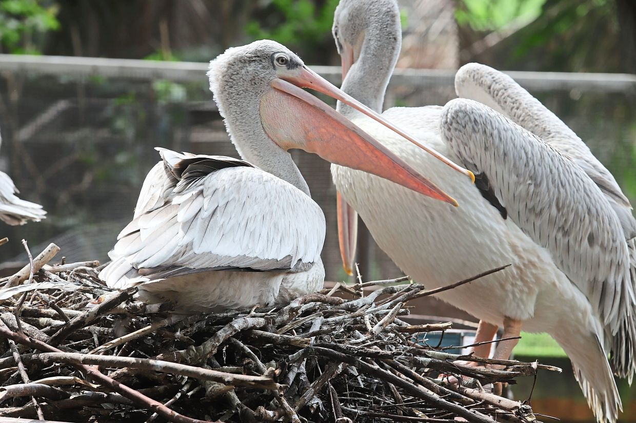 A closeup of pelicans resting on a nest of twigs.