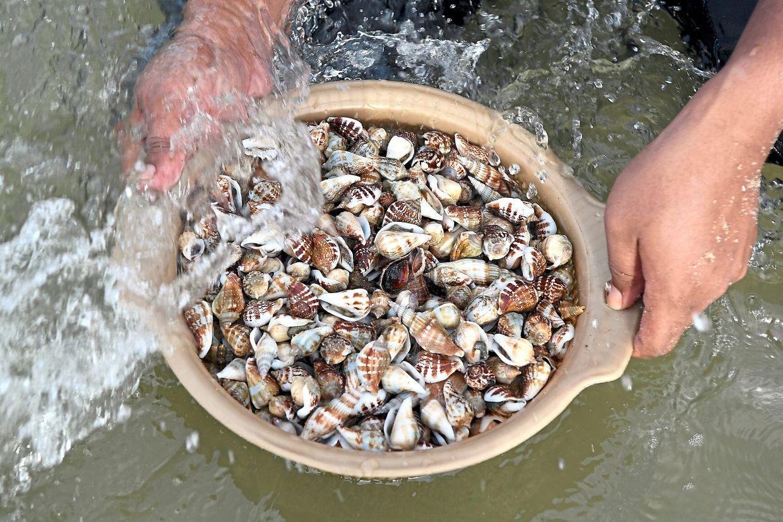 Some of the clams harvested during the monsoon season in Pantai Rusila, Kampung Rhu Dua near Marang.
