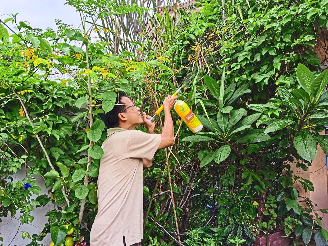 Kuan spraying a milk-and-flour-based pesticide to manage spider mites on his butterfly pea vines.
