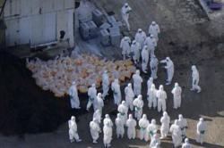 Japan's bird flu outbreak worsens, govt orders disinfection of poultry farms