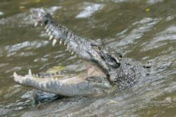 Eight-year-old boy killed by crocodile while swimming