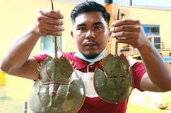 Horseshoe crab business still a hit despite pandemic