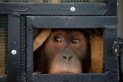 Two smuggled Sumatran orangutans flown home from Thailand