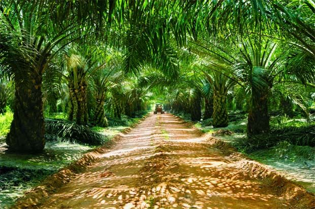 Kuala Lumpur Kepong Bhd (KLK) will continue to prioritise operational efficiencies to drive performance for its plantations. (File pic shows a KLK oil palm plantation.)