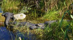 Alligators can regrow their tails, study finds