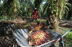 Indonesian palm group to seek review of export levy if palm prices top RM4,000