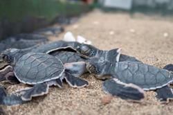 Baby turtles make a break for freedom