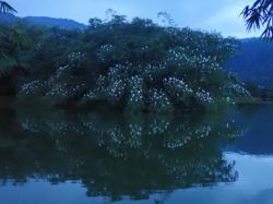 Little Egrets flock Taiping Lake Gardens