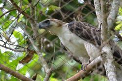 Prized and first Philippine eagle bred in captivity dies