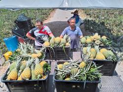 Early preparation saves pineapple harvest
