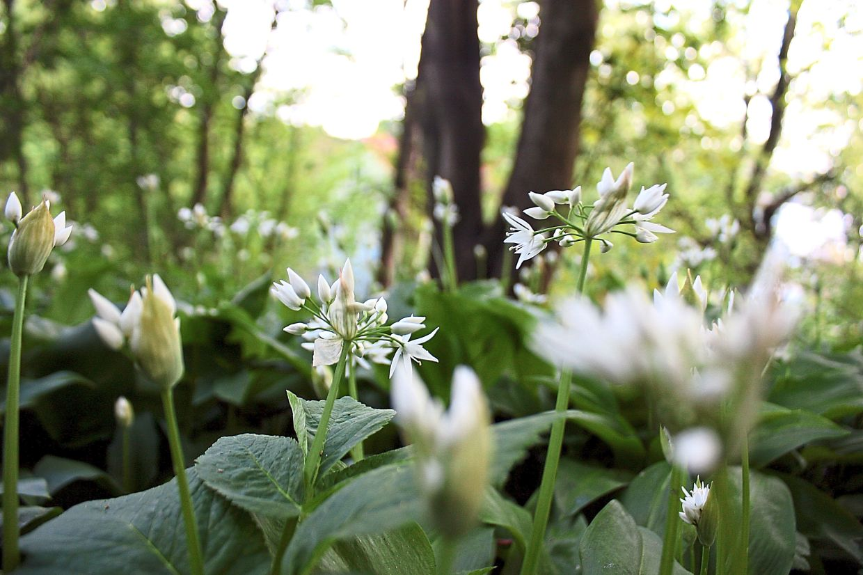 Instead of grass, gardeners can cover their lawn with wild garlic or other herbs instead. — dpa