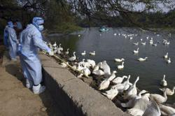 Reeling from coronavirus, Asia's poultry farmers battle bird flu outbreak