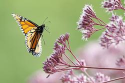 Butterflies, insects need human's aid