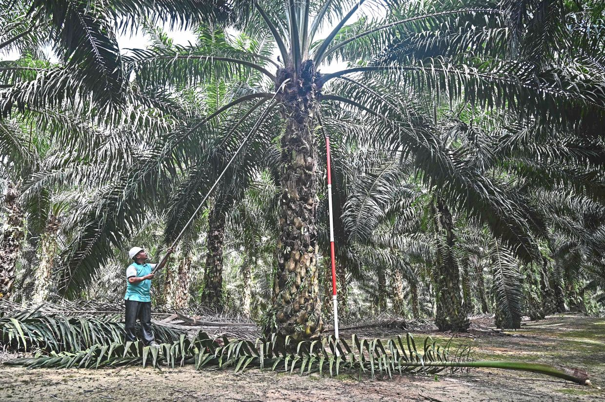 Estate owners' association backs directive to screen plantation workers in Sabah
