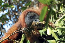 Rapid decline of Tapanuli orang utan worrying