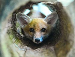 Raising orphaned little foxes