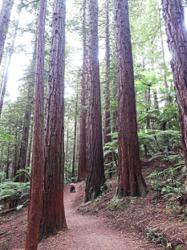 Take a walk through the forest of giant trees in New Zealand