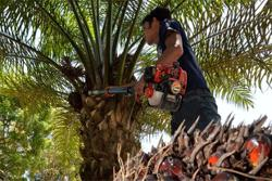 Palm oil output affected