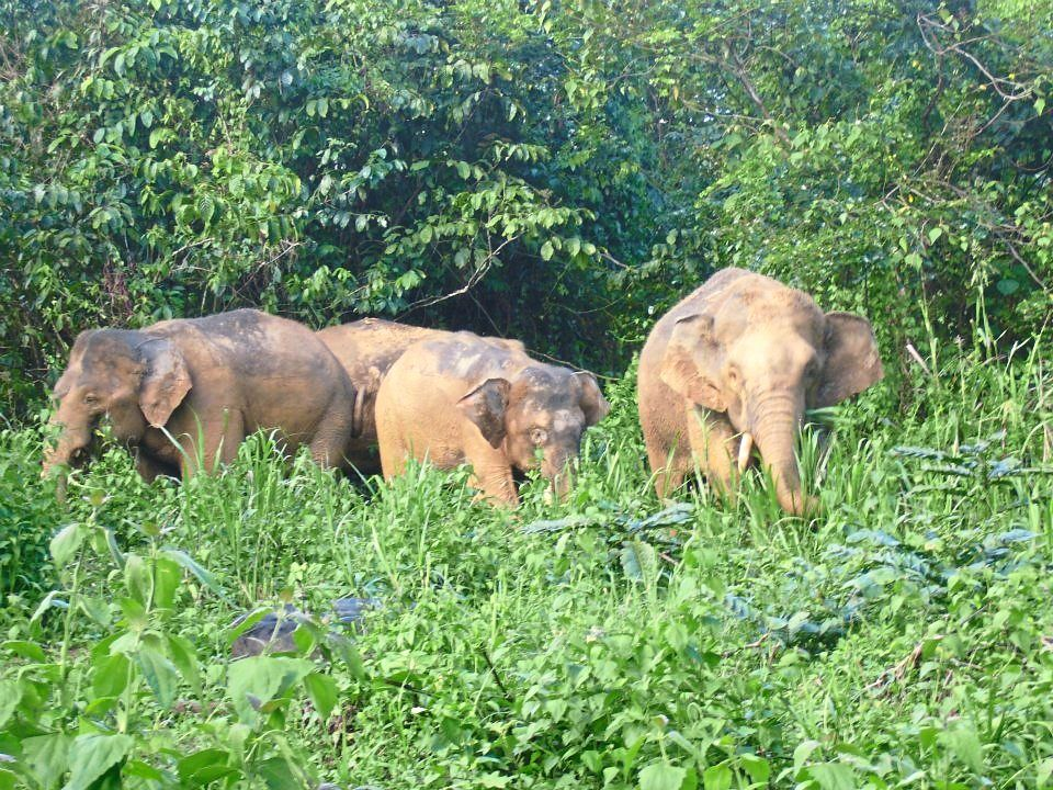 Sabah's pygmy elephants could be wiped out if nothing is done, says conservationist