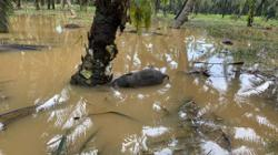 Bornean pygmy elephant calf drowns in Sabah floods
